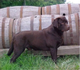 C-CHASE'S LABRADORS IN TENNESSEE